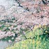 【画像大量】今年撮った桜の写真を淡々とあげてみる
