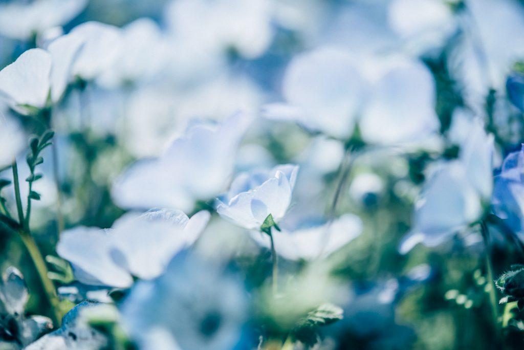 幻想的な青の世界。「ひたち海浜公園」のネモフィラを撮ってきた。